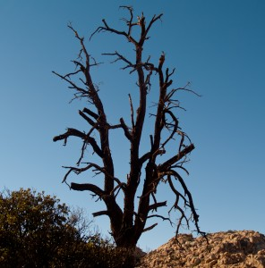 A recreation of my Hell Sit Tree - Joshua Tree National Park, Califronia