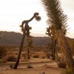 Desert scene around Joshua Tree