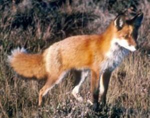 Fox walk