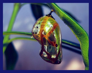 Butterfly Chrysalis as a Metaphor for Transformational Work